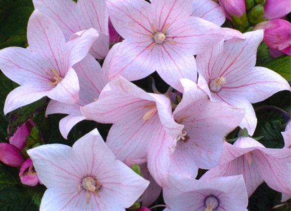 Platycodon g. 'Astra Pink'