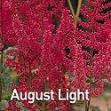 Astilbe a. August Light.jpeg