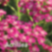 Achillea Saucy Seduction - Yarrow