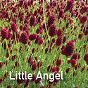 Sanguisorba Little Angel - Burnett