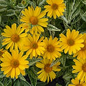 Heliopsis Sunburst - False Sunflower.jpe