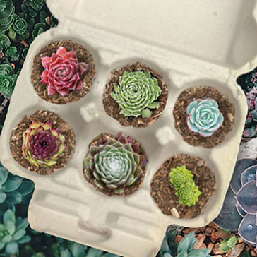 Sempervivum Chick 6 Pack - Hen and Chick