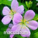 Geranium maculatum - Wild Geranium.jpeg