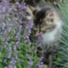 Nepeta f. Purrsian Blue - Catmint.jpg