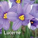 Sisyrinchium Lucerne - Blue Eyed Grass