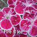 Dianthus Fire & Ice - Pinks