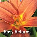 Hemerocallis Rosy Returns - Daylily