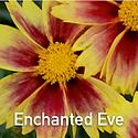 Coreopsis Enchanted Eve - Tickseed