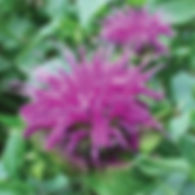 Monarda Blue Stockings - Bee Balm.jpg