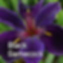 Iris Black Gamecock CU - Louisianna Iris