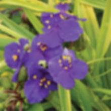 Tradescantia Lucky Charm - Spiderwort.jp