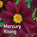 Coreopsis Big Bang Mercury Rising - Tick