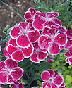 Dianthus Fire and Ice - Pinks