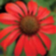 Echinacea Tomato Soup - Coneflower.jpg