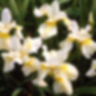 Iris s. Butter & Sugar - Siberian Iris