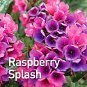 Pulmonaria Raspberry Splash - Lungwort.j