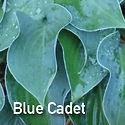 Hosta Blue Cadet