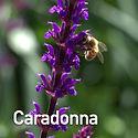 Salvia Caradonna.jpeg