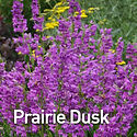 Penstemon Prairie Dusk - Beardtongue.jpe