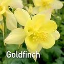 Aquilegia c. Songbird Goldfinch - Columb