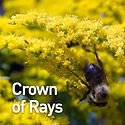 Solidago Crown of Rays - Goldenrod.jpeg