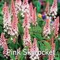 Tiarella Pink Skyrocket - Foam Flower CU