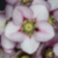Helleborus French Kiss - Lenten Rose.jpg