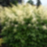 Aruncus dioicus - Goatsbeard.jpg