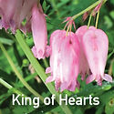 Dicentra eximia - Fern Leaf Bleeding Heart