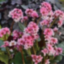 Bergenia Sakura - Pigsqueak.jpg