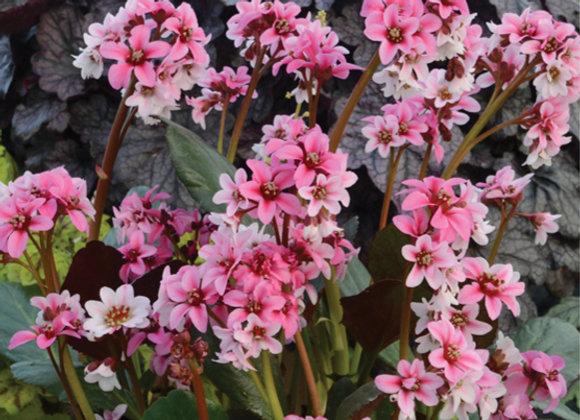 Bergenia 'Sakura'