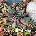 Succulent mix - Sempervivum with creepin