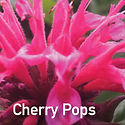 Monarda Cherry Pops - Bee Balm