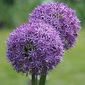 Allium Gladiator - Ornamental Onion.jpeg