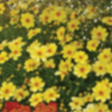 Coreopsis Full Moon - Tickseed.jpg