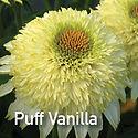 Echinacea Puff Vanilla - Coneflower