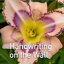 Hemerocallis Handwriting on the Wall - Daylily