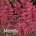 Agastache Morello - Hummingbird Mint