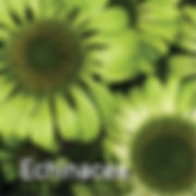 Echinacea Green Jewel - Coneflower