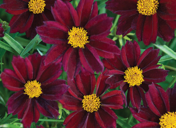 Coreopsis Big Bang 'Mercury Rising'