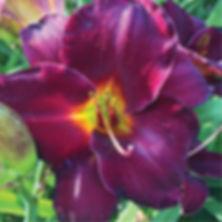 Hemerocallis Raspberry Suede - Daylily.j