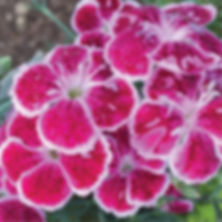 Dianthus Fire and Ice - Pinks.jpg