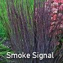 Schizachyrium Smoke Signal - Little Blue Stem