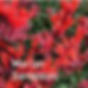 Monardella Marian Sampson - Mint on Fire