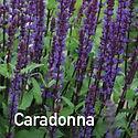 Salvia Caradonna.