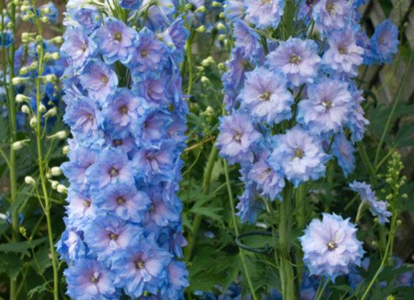 Delphinium e. 'Blue Lace'