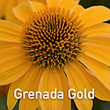 Echinacea Grenada Gold - Coneflower