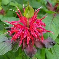 Monarda Cambridge Scarlet - Bee Balm