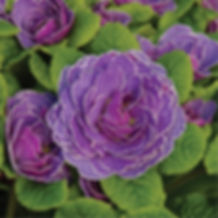 Primula Belarina Amethyst Ice - Primrose