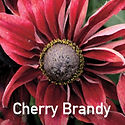 Rudbeckia Cherry Brandy - Black Eyed Susan